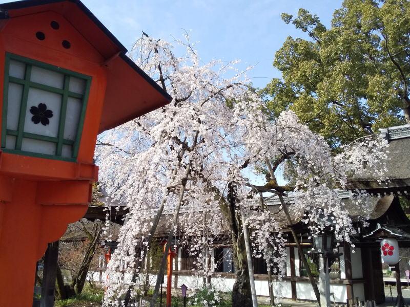 平野神社 魁桜 2021 / 京都ブログガイド