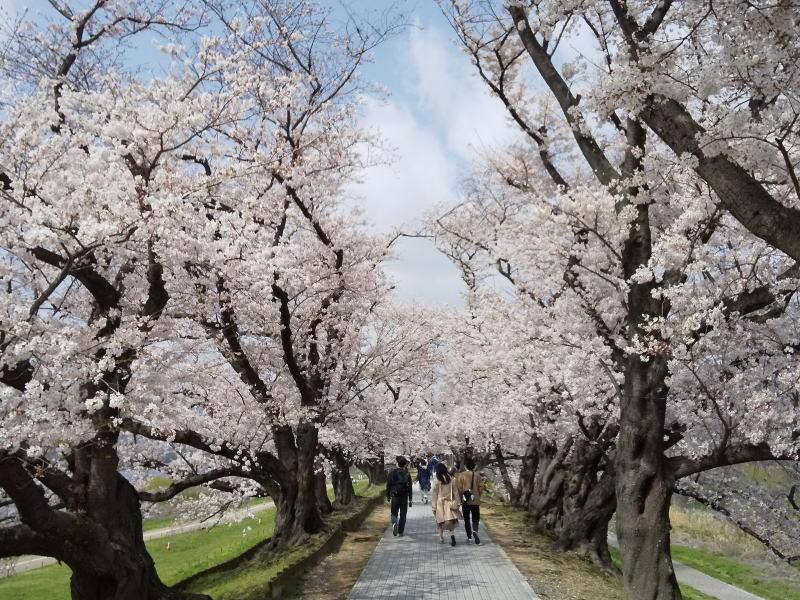 背割堤 2021 / 京都ブログガイド