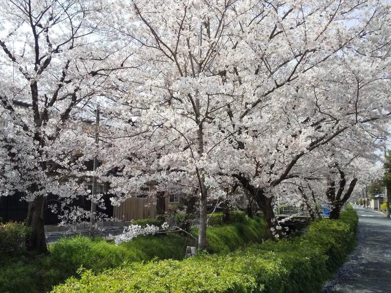 松ヶ崎浄水場辺りの桜 2021 / 京都ブログガイド