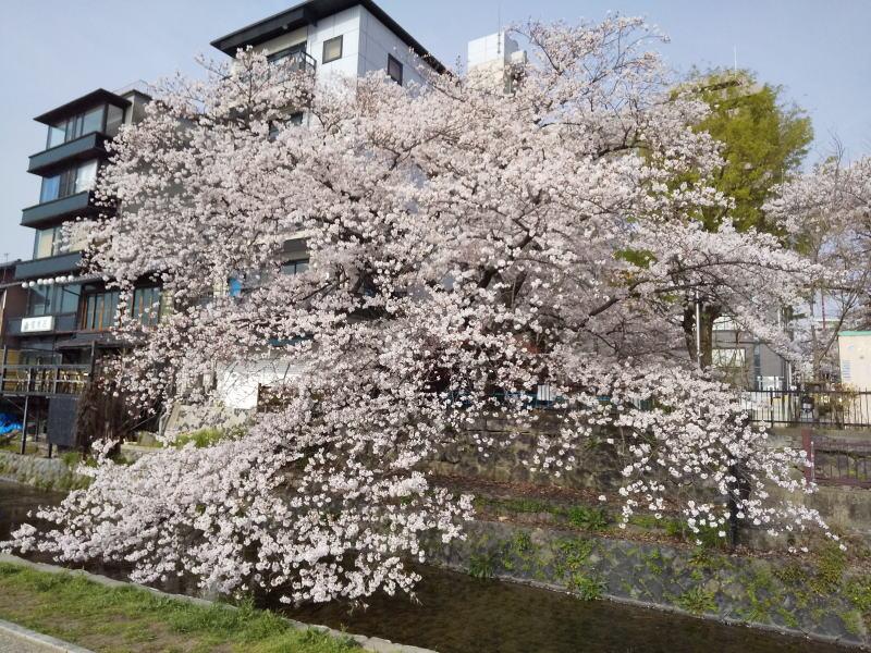 仏光寺公園の桜 / 京都ブログガイド