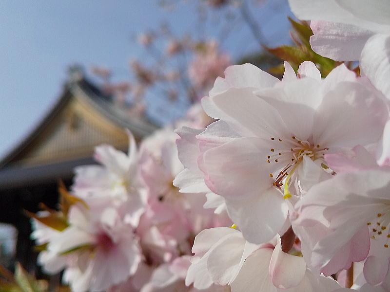 妙蓮寺御会式桜 2021 / 京都ブログガイド