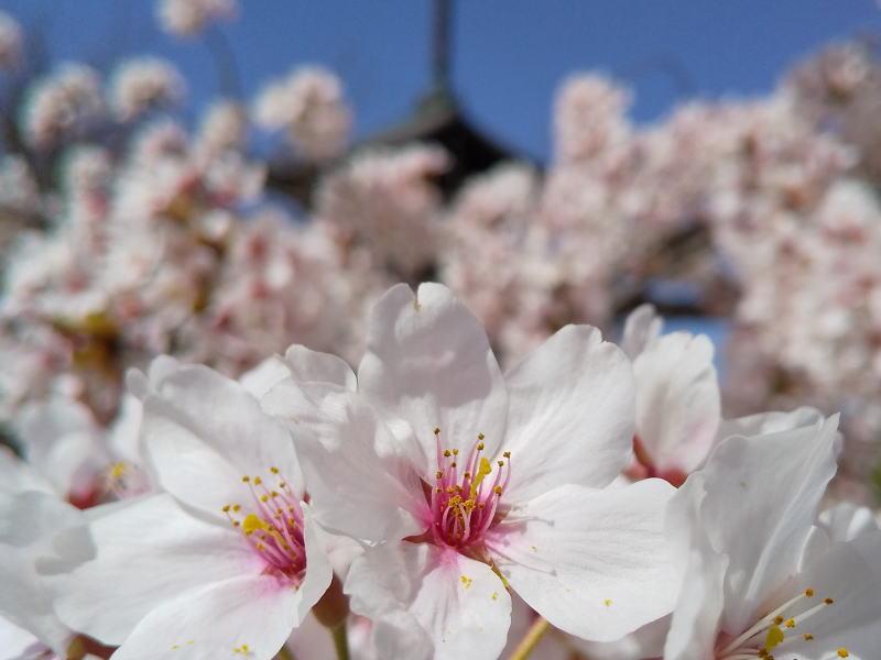 三重塔と桜 / 京都ブログガイド