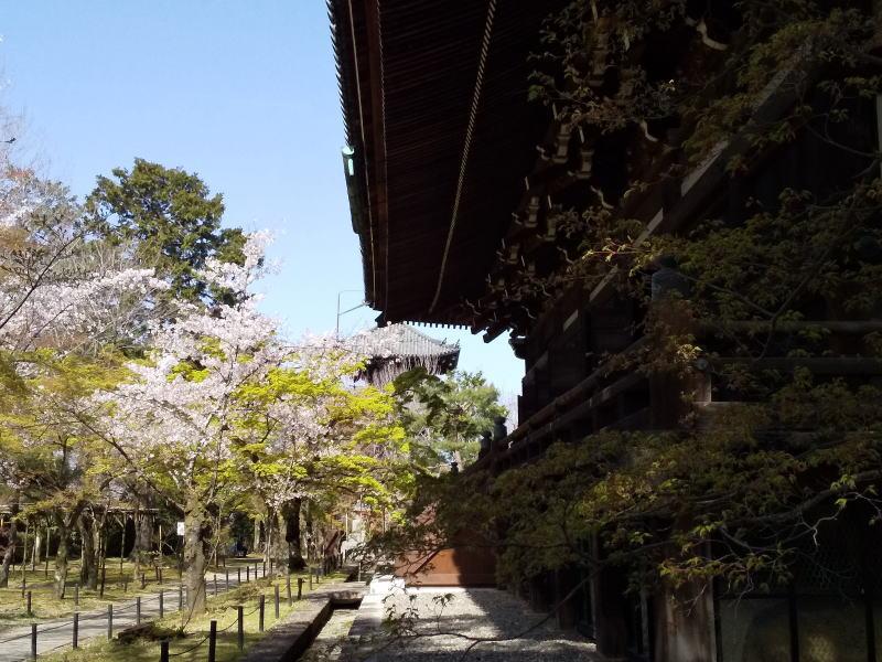 真如堂 桜 / 京都ブログガイド