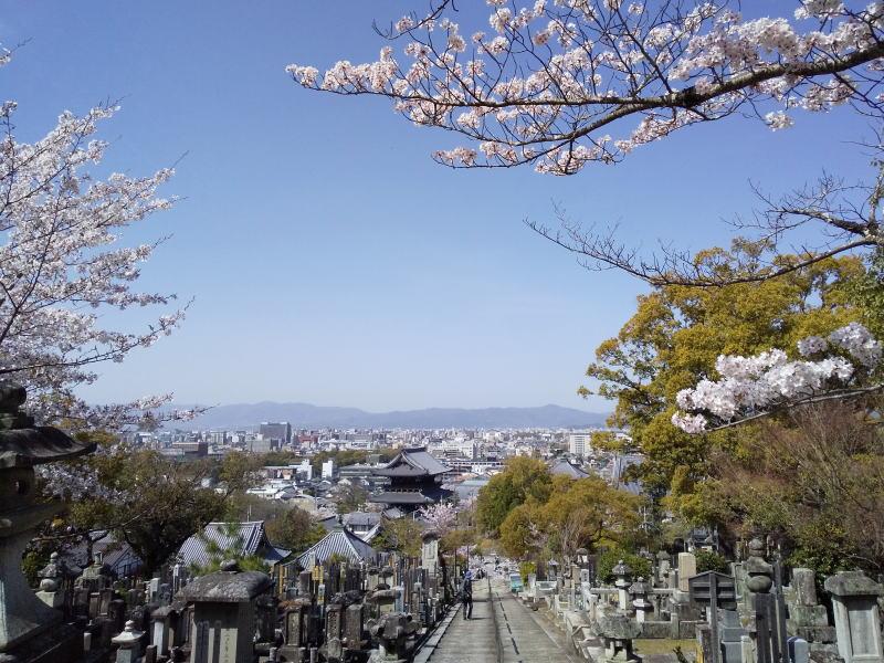 金戒光明寺 桜 / 京都ブログガイド