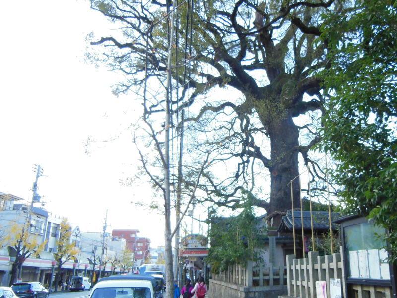 京都 御神木のある神社 新熊野神社の大樟